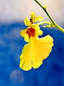 Orchid Oncidium Varicosum Sweet Sugar