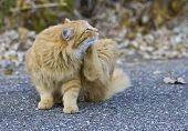 stock photo of flea  - Outdoor orange cat scratching fleas in yard - JPG