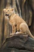 Proud Little Lion