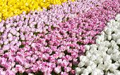 image of pinky  - Flower beds with a lot of pinky - JPG