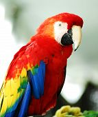 Golden Red Macaw Bird