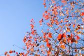 Autumn chinese tallow tree