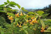 Datura, hallucinogenic plant  Madeira