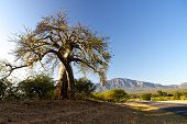 stock photo of veld  - Baobab tree in Mpumalanga in South Africa - JPG