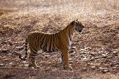 picture of tigress  - Side profile of a female tigress - JPG