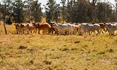 Herd of Brahman beef cattle moving across paddock