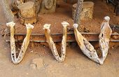 stock photo of zulu  - elephant jaws in shakaland zulu village - JPG