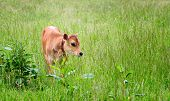 Calf In Field