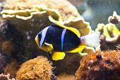 Amphiprion Clarkii - Clarkii Clownfish