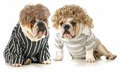 humanized dogs - two english bulldogs wearing wigs and dressed in clothing isolated on white backgro