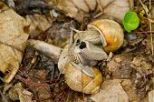 Pair of snails in courtship
