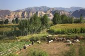 Chinese Farmers Peasant Herding Tending Sheep Lanzhou Gansu Province China