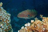 Coralgrouper