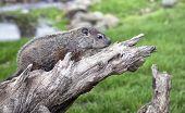 woodchuck profile