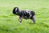 stock photo of suffolk sheep  - Sheep with a bucket on it - JPG