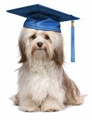 pic of eminent  - Beautiful proud graduation chocolate havanese dog with blue cap isolated on white background - JPG