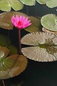 Red lotus and lotus leaf in the river