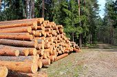 stock photo of conifers  - Pine logs stacked by a spring forest road - JPG