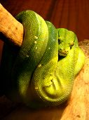 pic of green tree python  - image of green hidden boa on the branch of tree - JPG