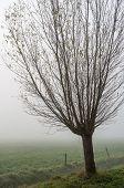 Pollard Willow On A Misty Day In Autumn