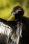 Anhinga (anhinga Anhinga) Male With Breeding Colors