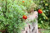 Flowers Tagetes