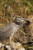Great Blue Heron (ardea Herodias) With A Fish