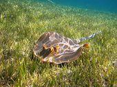 Blue-spotted Stingray (Taeniura lymma) On The Green Underwater Grass