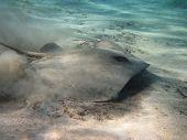 Darkspotted Stingray (himantura Uarnak) Hunting On The Sandy Bottom