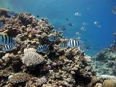 stock photo of sergeant major  - A shoal of sergeant major damselfish on a coral reef