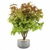 Exotic plant bush in the metal pot