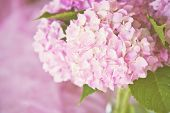 Hydrangea on pink with copy space