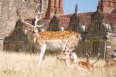 Buck fallow deer and faun