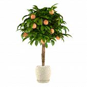 Citrus lime tree in the pot. Flowerpot
