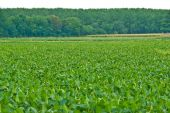 A green soybean field with trees background