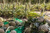 Pineapple At  Fruit Market