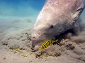 image of sea cow  - A sea cow  - JPG