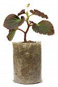 Growing Seedling In A Polyethylene Bag
