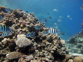 image of sergeant major  - A shoal of sergeant major damselfish on a coral reef