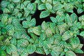 Nerve plant or Fittonia verschaffeltii