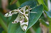 Oleander Hawk-moth or army green moth