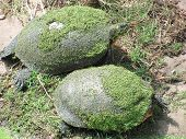 Turtle couple