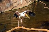 Yellow billed Stork.