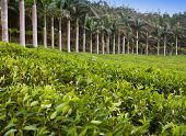 Tea plantation. Mauritius