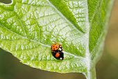 Asian ladybirds, coupling in period of reproduction