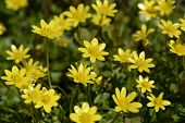 stock photo of celandine  - Lesser Celandine  - JPG