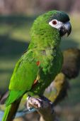 Hahns Macaw Parrot