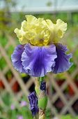 Yellow And Purple Iris Flower