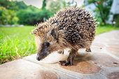 Walking hedgehog