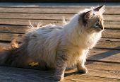 Siberian Nevsky Kitten